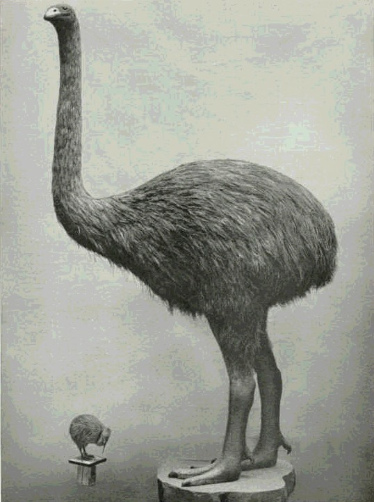 Moa kiwi photograph