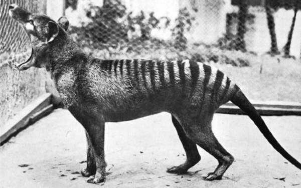 ThylacinePhotograph