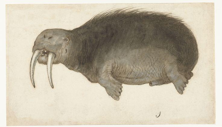 Walrus, anoniem, 1560 - 1585