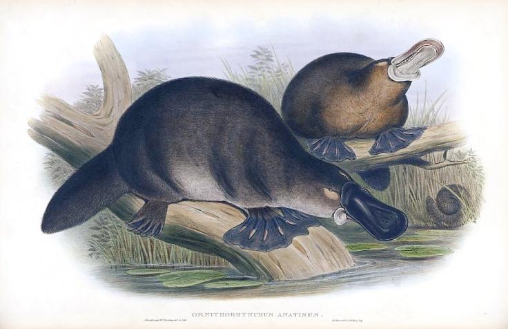 Platypus-sketch.jpg