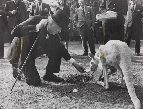 Churchill and white kangaroo
