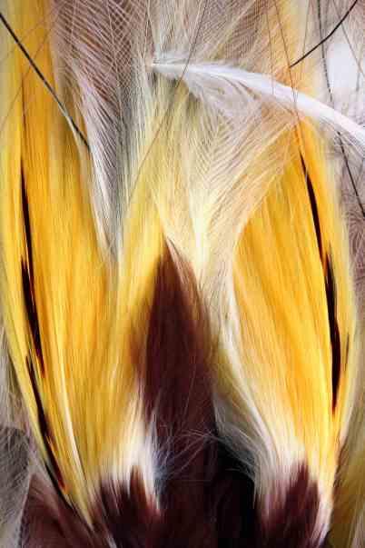 Greater bird of paradise plumes closeup