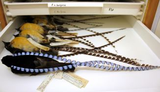 Drawer of King of Saxony's birds