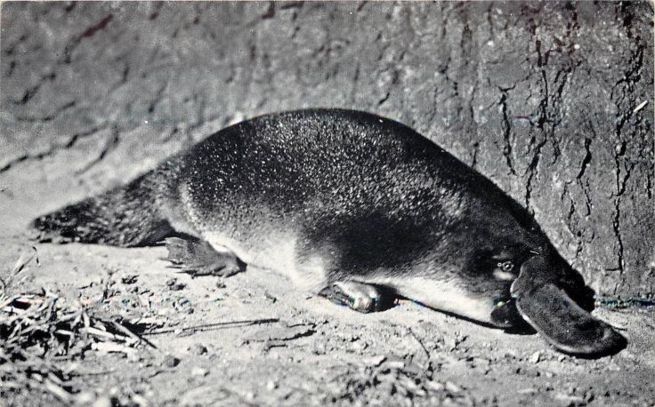 platypus postcard 1940