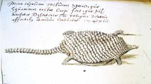 "Jacobus Bontius's original sketch of an amphibious 'Tamach' from his fieldwork in the East Indies, ""somnolent animal"" with a ""cold nature""."