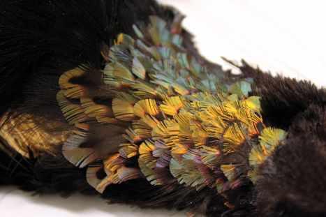 Six-wired bird of paradise throat