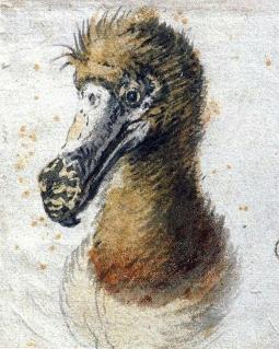 Cornelis Saftleven, Head of a Dodo, 1638, Boijmans Museum in Rotterdam.