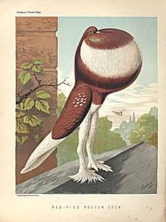 Pouter pigeon breen