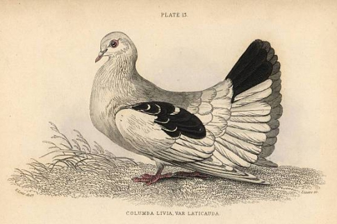 Fantail pigeon breed