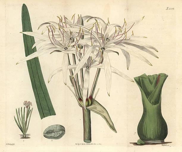 Crinium botanical plate
