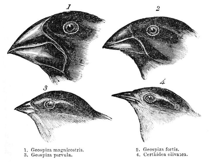 Darwin's Galapagos finches