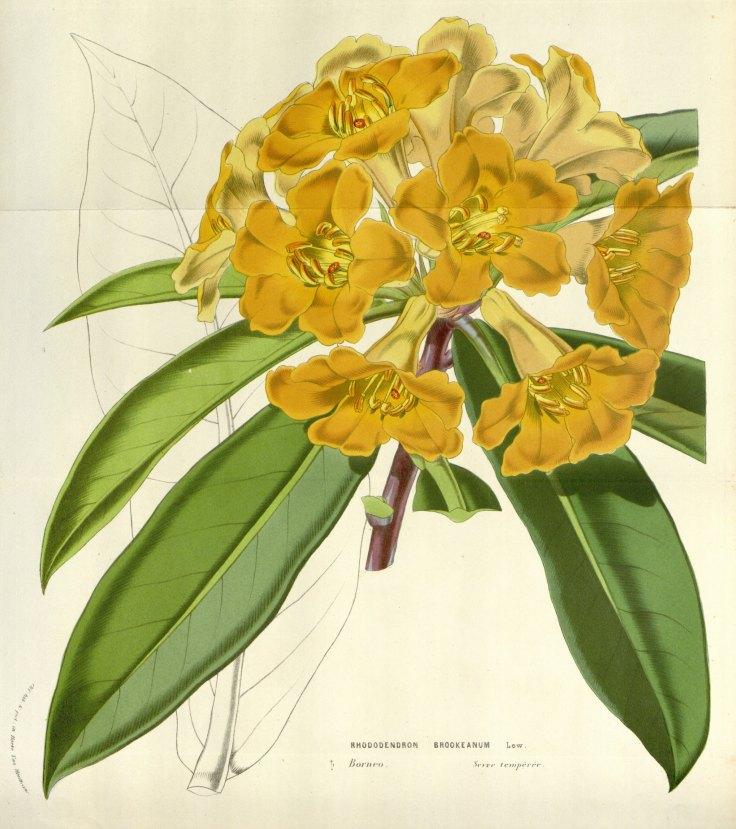 Rhodedendron Brookeanum plate