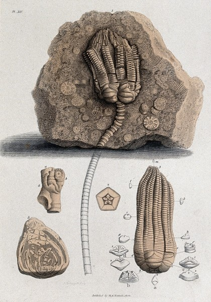 Geology; fossil remains in stone. 1833. Wellcome Collection.