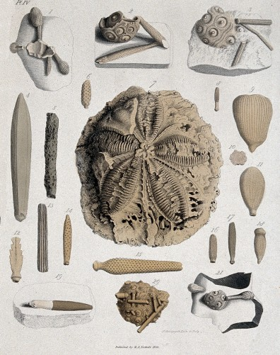 Geology: fossil remains in stone. Credit: Wellcome Library, London. Coloured engraving. 1833