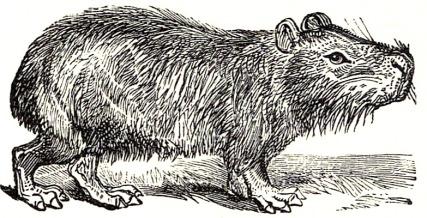 SFR_b+w_-_capybara