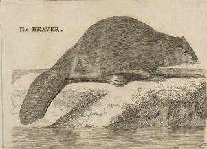 The_Beaver,_engraving