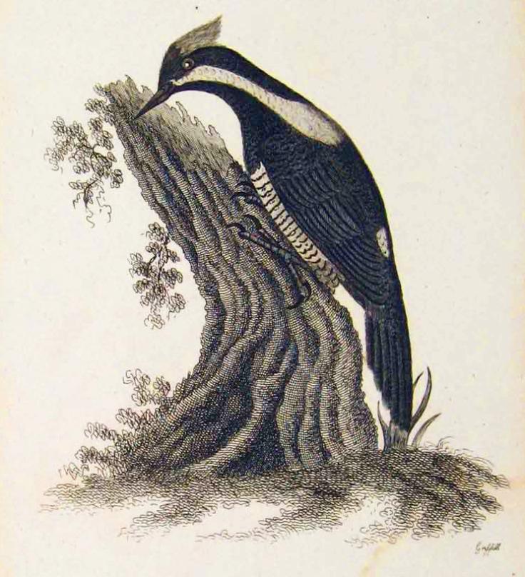 Buff crested woodpecker