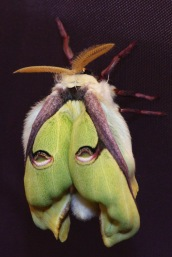 Indian moon moth, 2