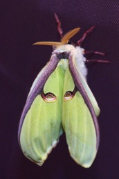 Indian moon moth, 4