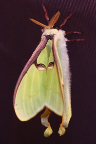 Indian moon moth, 5