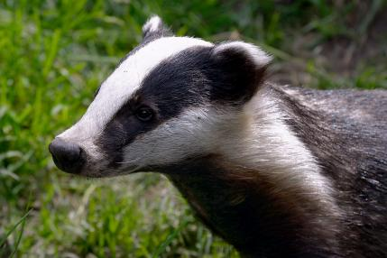 Badger (c) Terry Longley_4