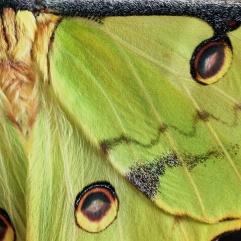 African moon moth, 2017