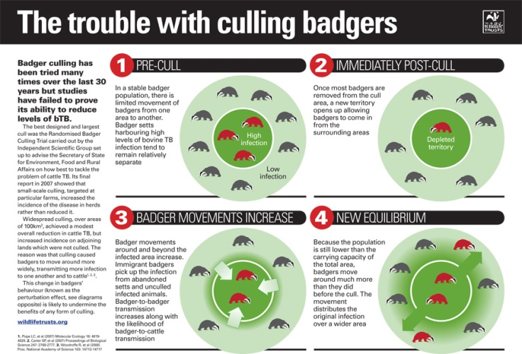 Impacts of a badger cull-2.jpg