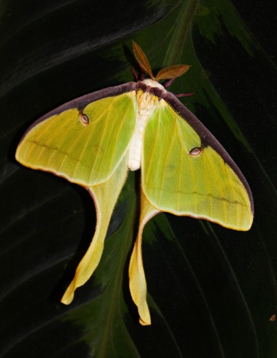Indian moon moth, 2013