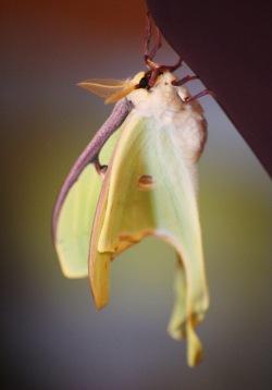 Indian moon moth, 2013