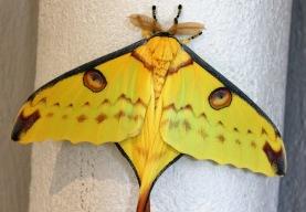 Madagascan moon moth, 2018