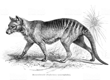 Beutelwolf, 1895