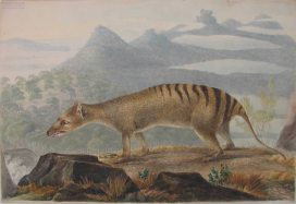 Johne Lewin, painting of a thylacine, Linnaean Society (1817)
